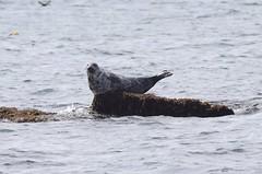 The Seal - a new yoga position (MJ Harbey) Tags: seal greyseal mammal halichoerusgrypus animal carnivora pinnipedia phocidae anglesey wales puffinisland nikon d3300 nikond3300
