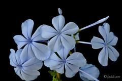 Ramillete de Jazmín azul. (EFD-fotolab) Tags: macrofotografia macro nikkor105mm nikond610 nikon verano españ naturaleza flowers flores jazmínazul