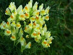 Leinkraut -Wildes Löwenmäulchen (dorisgoebel) Tags: wildpflanze blumen flower blüten blossom natur gelb yellow leinkraut toadflax