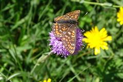 Spread your wings (johan van moorhem) Tags: france frankrijk grenoble belledonne mountains hiking gr738 gr549 papillon vlinder flower
