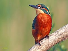 Martín pescador común (Alcedo atthis) (31) (eb3alfmiguel) Tags: aves pájaros coraciiformes alcedinidae martín pescador común alcedo atthis