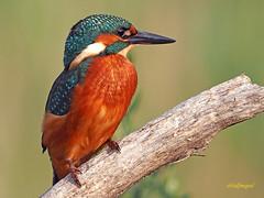 Martín pescador común (Alcedo atthis) (28) (eb3alfmiguel) Tags: aves pájaros coraciiformes alcedinidae martín pescador común alcedo atthis