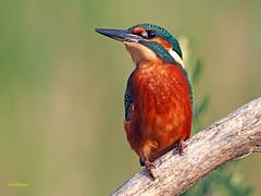 Martín pescador común (Alcedo atthis) (25) (eb3alfmiguel) Tags: aves pájaros coraciiformes alcedinidae martín pescador común alcedo atthis