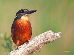 Martín pescador común (Alcedo atthis) (24) (eb3alfmiguel) Tags: aves pájaros coraciiformes alcedinidae martín pescador común alcedo atthis