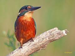 Martín pescador común (Alcedo atthis) (23) (eb3alfmiguel) Tags: aves pájaros coraciiformes alcedinidae martín pescador común alcedo atthis