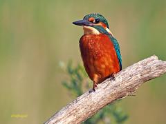 Martín pescador común (Alcedo atthis) (21) (eb3alfmiguel) Tags: aves pájaros coraciiformes alcedinidae martín pescador común alcedo atthis