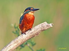 Martín pescador común (Alcedo atthis) (17) (eb3alfmiguel) Tags: aves pájaros coraciiformes alcedinidae martín pescador común alcedo atthis