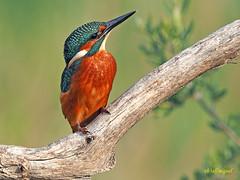 Martín pescador común (Alcedo atthis) (10) (eb3alfmiguel) Tags: aves pájaros coraciiformes alcedinidae martín pescador común alcedo atthis
