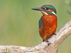 Martín pescador común (Alcedo atthis) (6) (eb3alfmiguel) Tags: aves pájaros coraciiformes alcedinidae martín pescador común alcedo atthis
