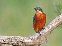Martín pescador común (Alcedo atthis) (4) (eb3alfmiguel) Tags: aves pájaros coraciiformes alcedinidae martín pescador común alcedo atthis
