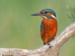 Martín pescador común (Alcedo atthis) (3) (eb3alfmiguel) Tags: aves pájaros coraciiformes alcedinidae martín pescador común alcedo atthis