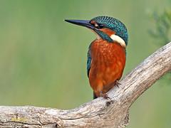 Martín pescador común (Alcedo atthis) (2) (eb3alfmiguel) Tags: aves pájaros coraciiformes alcedinidae martín pescador común alcedo atthis