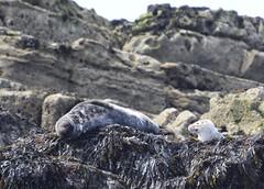 That Sunday feeling! (MJ Harbey) Tags: seal animal halichoerusgrypus mammal carnivora pinnipedia phocidae anglesey wales puffinisland nikon d3300 nikond3300 greyseal