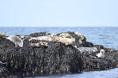 Watching the tourists! (MJ Harbey) Tags: seals greatseal animal mammal halichoerusgrypus carnivora pinnipedia phocidae seal anglesey wales puffinisland nikon d3300 nikond3300