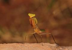 Giant Asian Mantis Nymph (Hierodula sp., Mantinae, Mantidae) (John Horstman (itchydogimages, SINOBUG)) Tags: insect macro china yunnan itchydogimages sinobug entomology canon praying mantis nymph mantinae mantidae bokeh