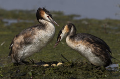 Great Crested Grebes on the nest (Ann and Chris) Tags: greatcrestedgrebe nest eggs wildlife nature waterbirds