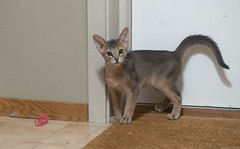 Dead Spiral (peter_hasselbom) Tags: cat cats kitten kittens abyssinian 11weeksold play game blue flash 1flash 105mm doormat spiral toy