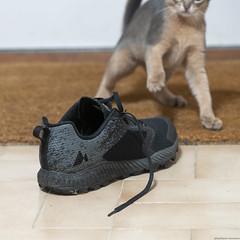 The Shoe (peter_hasselbom) Tags: cat cats kitten kittens abyssinian 11weeksold play game blue flash 1flash 105mm shoe sneaker merril shoelace doormat