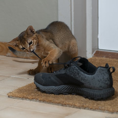 And the Shoe Lace 4 (peter_hasselbom) Tags: cat cats kitten kittens abyssinian 11weeksold play game ruddy usual flash 1flash 105mm shoe sneaker merril shoelace doormat