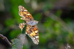 Injured Painted Lady Butterfly - Samyang 100mm Macro + Godox TT350s (JackSoldano) Tags: injured painted lady butterfly samyang 100mm macro godox tt350s