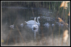 IMG_0001 Mute Swans And Cygnets (Scotchjohnnie) Tags: muteswan cygnusolor cygnets swan ornithology bird birdphotography birdwatching ukbirds waterbird waterfowl wildlife wildlifephotography wildandfree wildfowl wildanimal nature naturephotography canon canoneos canon7dmkii canonef100400f4556lisiiusm scotchjohnnie
