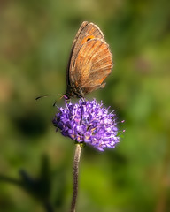 _87A6253.jpg (Frodingham Photographer) Tags: mittenwald germany wild nature holiday2016 butterfly ferchensee