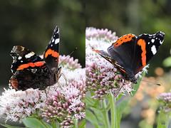EOS 7D Mark II_088834_C (Gertjan Kamsteeg) Tags: animal invertebrate bug macro insect butterfly vlinder nymphalidae nymphalinae vanessaatalanta redadmiral redadmirable atalanta admiraalvlinder nummervlinder