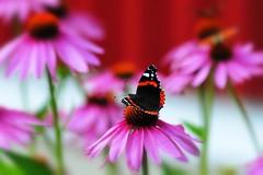 Admiral! (nikkorglass) Tags: redadmiral amiralfjäril bokeh butterfly fjäril ffg home hemma vanessaatalanta d700 70200f28 nikon nikkor