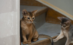 On the stairs (peter_hasselbom) Tags: cat cats kitten kittens abyssinian 11weeksold play game blue ruddy usual 2cats 2kittens twocats twokittens flash 1flash 105mm stair stairs
