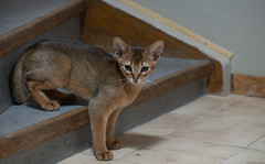 On the stairs 2 (peter_hasselbom) Tags: cat cats kitten kittens abyssinian 11weeksold play game ruddy usual flash 1flash 105mm stair stairs