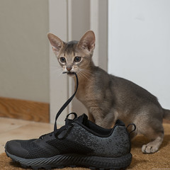 Same Shoe Lace Other Kitten (peter_hasselbom) Tags: cat cats kitten kittens abyssinian 11weeksold play game blue flash 1flash 105mm shoe sneaker merril shoelace