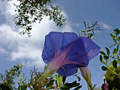 Fantasía natural (adioslunitaadios) Tags: campanas naturaleza azules airelibre campo floresdelcampo fantasia