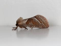 EOS 7D Mark II_089076 (Gertjan Kamsteeg) Tags: animal invertebrate bug macro insect moth nachtvlinder hepialidae triodiasylvina orangeswift orangemoth oranjewortelboorder wortelboorder swiftmoth ghostmoth