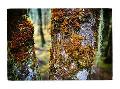 Mosses growing on a tree (jasoux) Tags: nature lewispass moss tree closeup analogue nz newzealand ninavalley tramping trekking trail hiking bushwalk forest wilderness outdoors