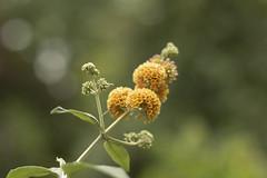 Buddleja davidii (dewollewei) Tags: buddleja davidii vlinderstruik flower blooming yellow geel garden tuin