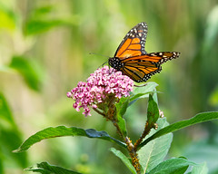 Monarch (Chancy Rendezvous) Tags: monarch butterfly milkweed aphids oleanderaphid animal insect feeding plants