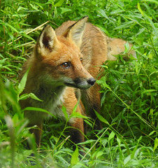 Red Fox in the Grass (annette.allor) Tags: red fox vulpes woods portrait pose