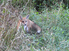 Cautious Young Red Fox (annette.allor) Tags: fox red vulpes grass woods kit evening