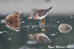 Lesser Yellowlegs (rjm284) Tags: birds birding wa washington rjm284 leye lesseryellowlegs carkeekpark juv j juvenile
