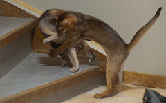 Assault (peter_hasselbom) Tags: cat cats kitten kittens abyssinian ruddy usual 11weeksold play playfight playing game hunt stairs flash 1flash 105mm