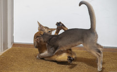 Pay Back (peter_hasselbom) Tags: cat cats kitten kittens abyssinian ruddy usual 11weeksold blue 2cats 2kittens twocats twokittens play playfight playing game hunt doormat flash 1flash 105mm