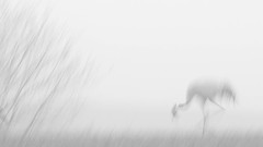 Futtersuche (IIIfbIII) Tags: crane grus grue grey kranich birdphotography bird bw blackandwhite mecklenburg mv minimal canonphotography wildlife wildlifephotography white weis nature naturephotography natur naturfotografie