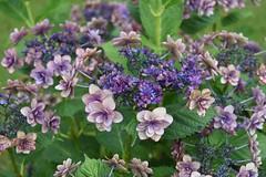 あじさい/Hydrangeas (Abhay Parvate) Tags: hydrangea あじさい flowers 花 colors nature purple red fresh