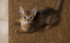 Mookaite (peter_hasselbom) Tags: cat cats kitten kittens abyssinian ruddy usual 11weeksold lyingdown lookingup fromabove doormat flash 1flash 105mm