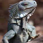Iguana portret