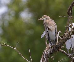 10 08 2019 (cathyk31) Tags: oiseau crabierchevelu ardeolaralloides ardéidés pélécaniformes squaccoheron bird