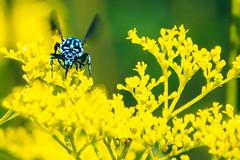 _DSC7616-Edit (imamuan) Tags: blue bee insect japan tokyo machida yakushiike ルリモンハナバチ 青 ハチ 東京 町田 薬師池