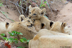 10 August - World Lion Day (leendert3) Tags: leonmolenaar southafrica krugernationalpark wildlife wilderness wildanimal naturereserve naturalhabitat africanlion mammal ngc npc