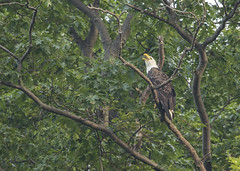 Bald Eagle... (Kevin Povenz Thanks for all the views and comments) Tags: 2019 june kevinpovenz westmichigan michigan ottawa ottawacounty ottawacountyparks ottawasands bird baldeagle birdsofprey nature wildlife outdoors outside canon7dmarkii sigma150600 tree branch leaves calling