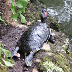 Chicago, Garfield Park Conservatory, Turtle (Mary Warren 13.9+ Million Views) Tags: chicago garfieldparkconservatory garden park nature flora plants green leaves foliage fauna reptile turtle